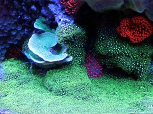 green star polyps
