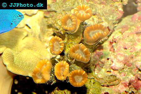 Caulastrea spp