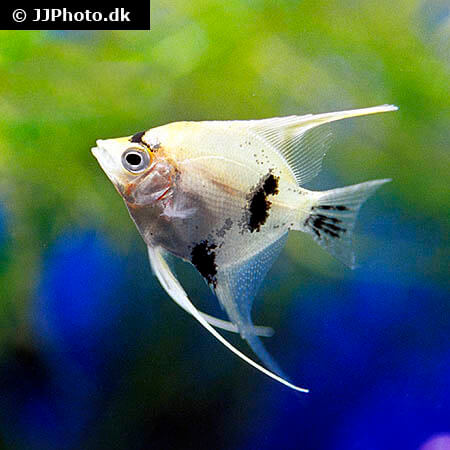 Panda Angelfish