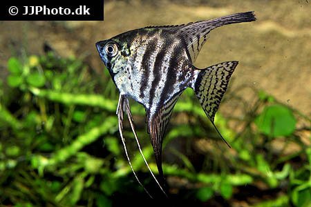 Zebra Smoke Angelfish