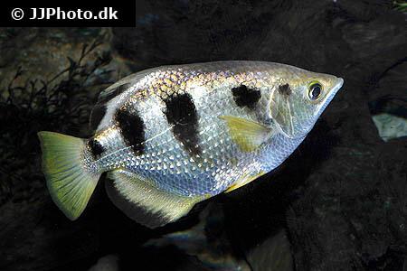 Toxotes jaculatrix Archerfish