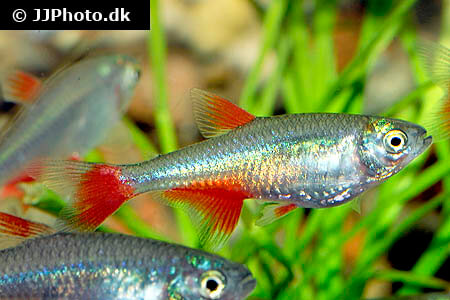Red Finned Tetra