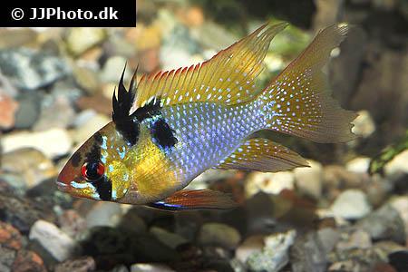 Blue Ram Cichlid