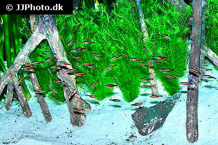 School of Cardinal Tetras