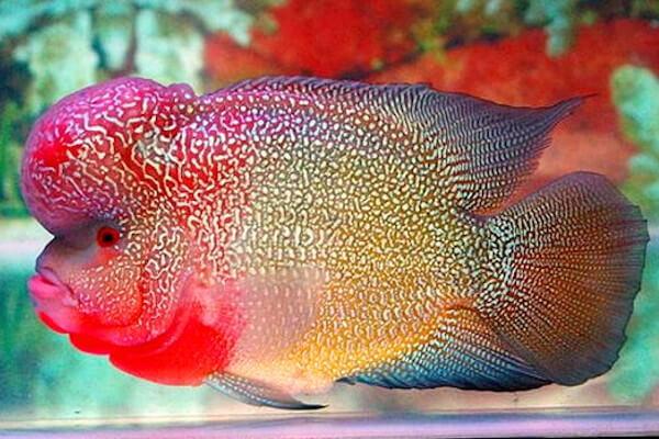 elvis flowerhorn cichlid