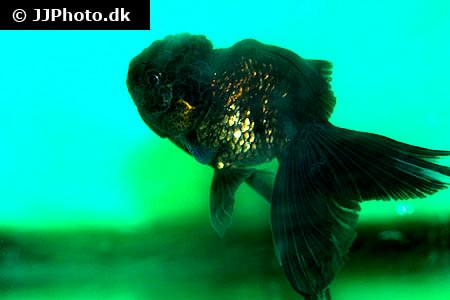 Black Oranda Goldfish