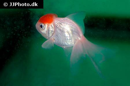 Redcap Oranda Goldfish