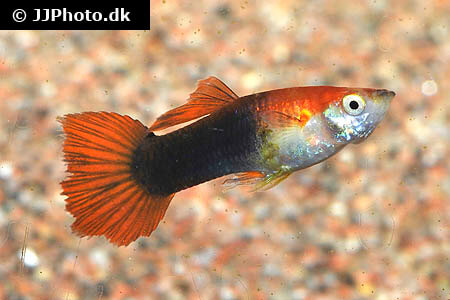 Black and Red Guppy