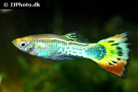 Yellow, Black and Red Guppy
