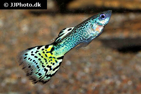 Yellow and Black Guppy