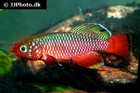 Nothobranchius cardinalis Killifish