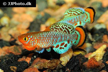 Nothobranchius rachovii Killifish
