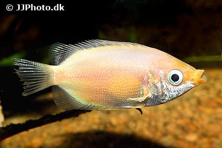 Kissing Gourami Fish