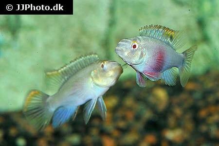 Albino Pelvicachromis pulcher