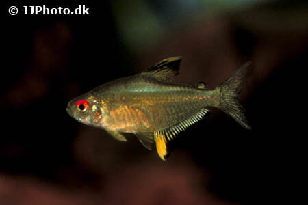 Lemon Tetras