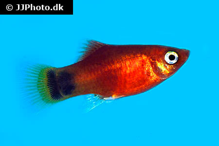 Orange Mickey Mouse Platy