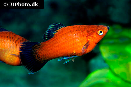 Black Tail Platy fish