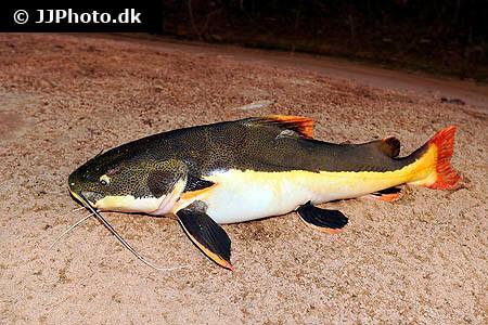 phractocephalus hemioliopterus