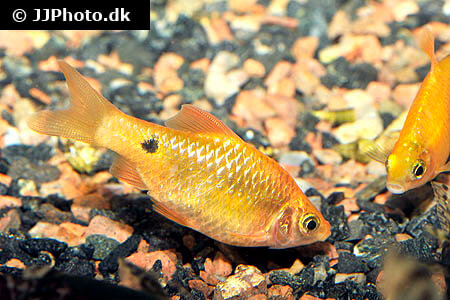 Golden Rosy Barb