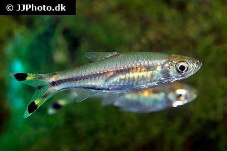 Two Scissor Tail Rasboras