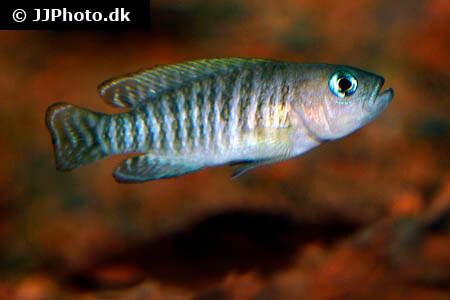 Shell Dweller Cichlid