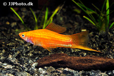 Orange Swordtail Fish