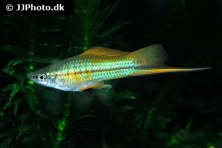 White Swordtail