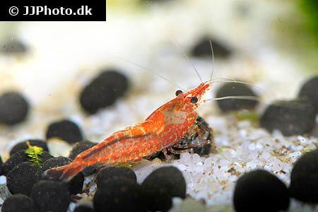 neocaridina davidi shrimp