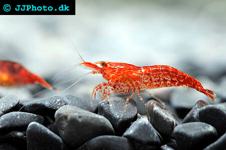 neocaridina davidi red shrimp