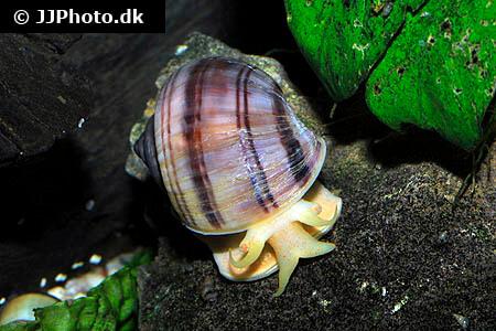 Pomacea bridgesii purple mystery apple snail