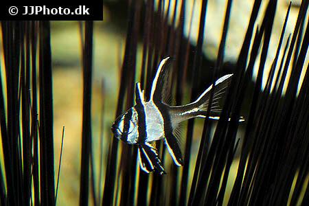 Baby Banggai Cardinalfish