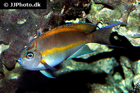Male Bellus Angelfish