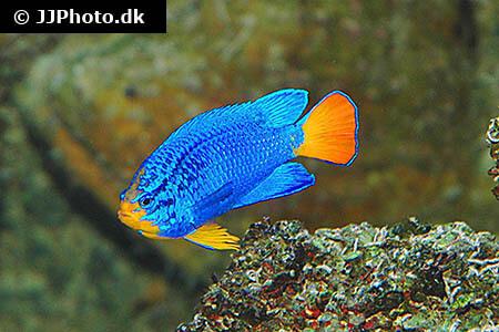 Beautiful Blue Damselfish