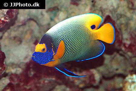 Yellowface Angelfish