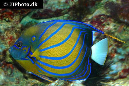 Blue Ring Angelfish