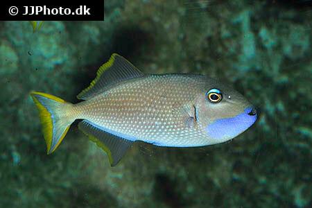 Blue Throat Trigger Fish