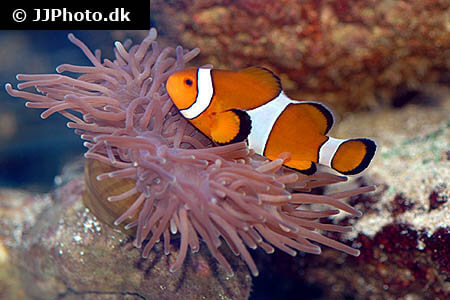 Amphiprion ocellaris clownfish
