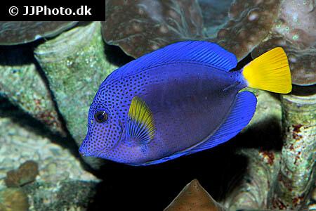 Purple Tang - Zebrasoma xanthurum