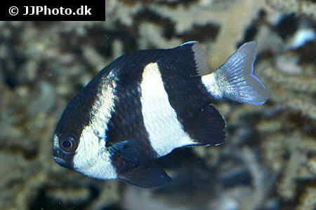 White Tail Damselfish