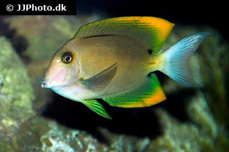 Tomini Surgeonfish