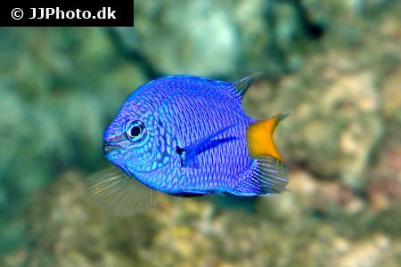 Yellowtail Blue Damselfish